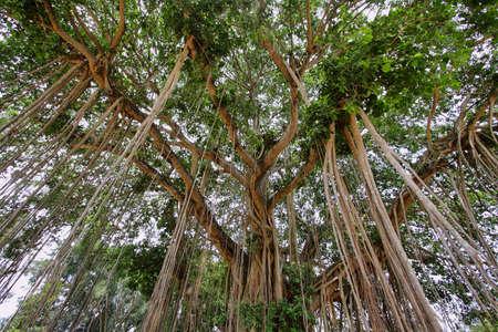 Very big banyan trees near Mendut temple in Java island, Indonesia photo