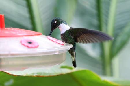White throated mountain gem hummingbird in a water dispenser, Ecuador Stock Photo