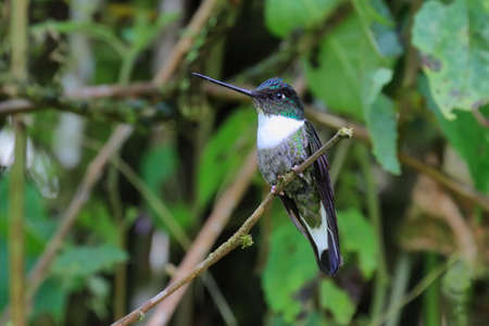 san isidro: White throated mountain gem hummingbird perched in a branch, Ecuador