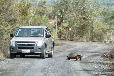coldblooded: ISABELA, ECUADOR – APRIL 24: A wild endangered giant galapagos tortoise crossing a dirty road while tourists in a car look him with interest on April 24, 2014 in Isabela island, Ecuador