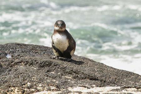 Galapagos Penguin in Isabela island, Galapagos Islands, Ecuador photo