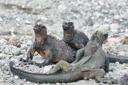 cold blooded: Three Galapagos Marine Iguanas resting on rocks in Isabela island, Galapagos, Ecuador