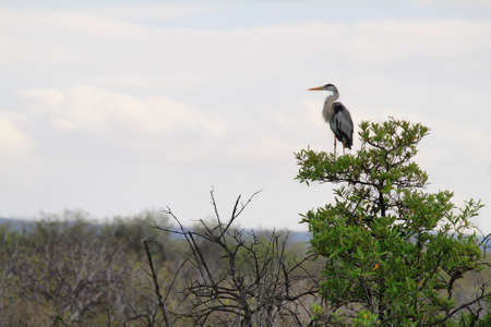 Great Blue Heron watching from a tree in Bachas beach, Galapagos, Ecuador photo