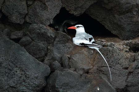 billed: Red-billed tropicbird breeding in the cliffs of Genovesa island, Galapagos, Ecuador