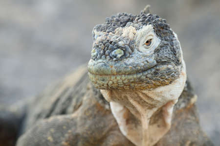 Wild land iguana in South Plazas island, Galapagos, Ecuador photo