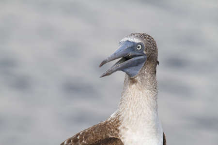 subspecies: Blue-footed Booby (Sula nebouxii), Eastern Pacific subspecies, Galapagos. Stock Photo