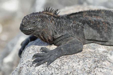 Galapagos Marine Iguana resting on rocks in South Plaza island, Galapagos, Ecuador photo