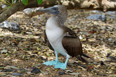 booby: Blue-footed Booby (Sula nebouxii), Eastern Pacific subspecies, Galapagos. Stock Photo