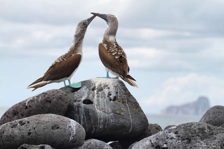 boobies: Pair of Blue-footed Boobies (Sula nebouxii) in Lobos island with kicker rock at background, Galapagos. Stock Photo