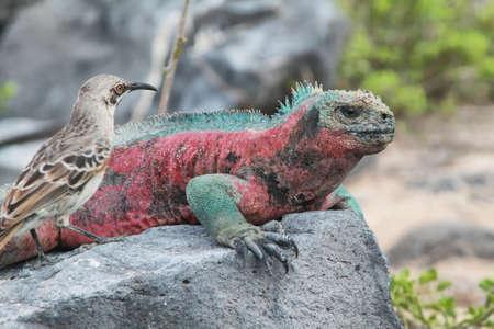 Galapagos Marine Iguana (Amblyrhynchus cristatus) resting on rocks in La Espanola island, Galapagos, Ecuador photo
