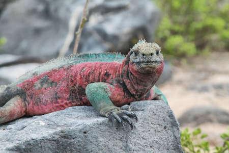 cold blooded: Galapagos Marine Iguana (Amblyrhynchus cristatus) resting on rocks in La Espanola island, Galapagos, Ecuador