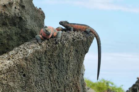 Galapagos Marine Iguanas (Amblyrhynchus cristatus) resting on rocks in La Espanola island, Galapagos, Ecuador photo