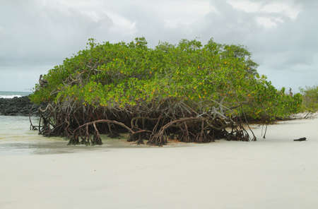 Mangrove on Tortuga Bay beach in Santa Cruz island, Galapagos, Ecuador photo