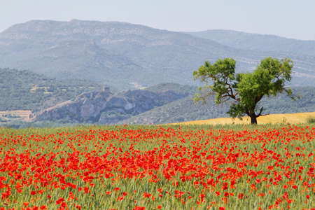 Fields of poppies with and almond tree and ruins of ancient castle at background near Alos de Balaguer, La Noguera, Lleida, Spain