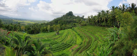 Bright green rice fields with palm trees in Bali island, Indonesia photo