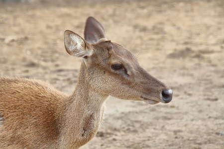 nusa: Wild Deer (Cervus timorensis) in Seraya island Stock Photo