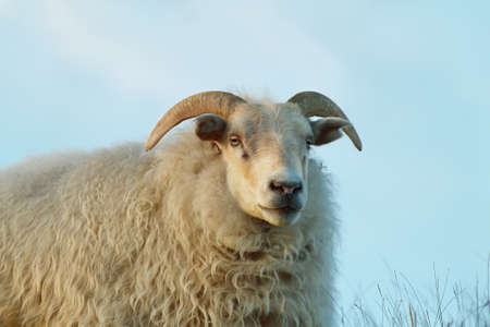Cute sheep staring to the camera in Iceland