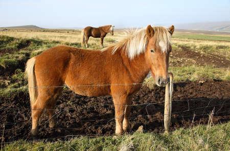 grasslands: Icelandic Horses in the grasslands