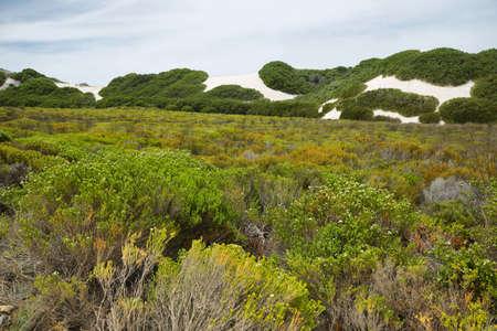 desert vegetation: Vegetation in the desert dunes of De hoop nature reserve, South Africa Stock Photo