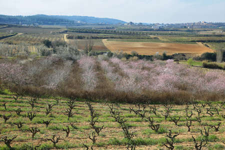 vineyard plain: Peach trees in flowering period and vineyards in San Pau del Ordal, Catalonia, Spain