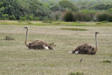 sitted: A couple of ostriches in De Hoop nature reserve, South Africa