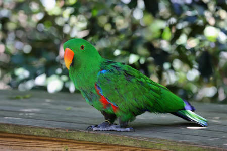 eclectus parrot: Eclectus parrot (eclectus roratus) in South Africa Stock Photo