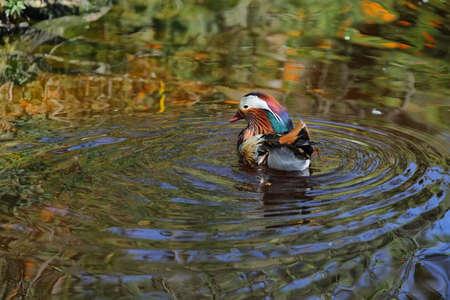 south african birds: Mandarin duck (Aix galericulata) in South Africa Stock Photo