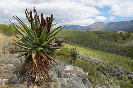 Large cactus plant in Swartberg pass, South Africa