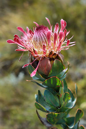 protea flower: King protea flower (Protea cynaroides) in South Africa