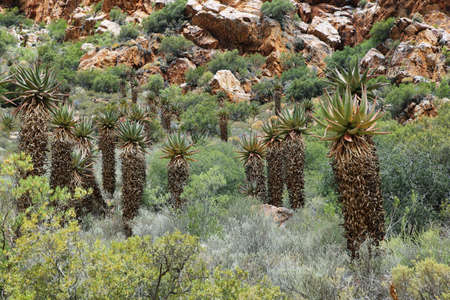 inhospitable: Rocky redish mountains and cactus in Swartberg pass, South Africa