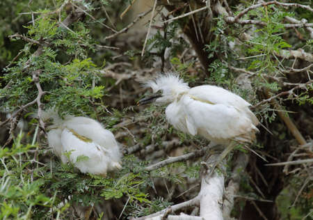 ardeidae: Couple of Cattle egret (Bubulcus ibis) babies in Montagu, South africa
