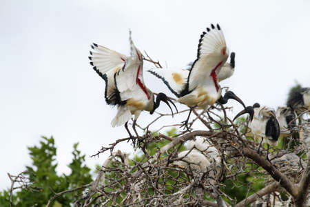 ibis: Couple of african Sacred Ibis, South Africa Stock Photo