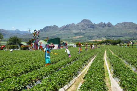 somerset: Strawberries field with funny scarecrows near Somerset West, South Africa Stock Photo