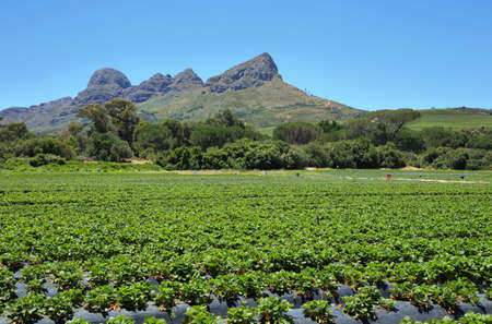 somerset: Strawberries field near Somerset West, South Africa