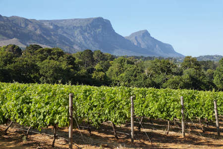 Vineyards landscape in Constantia valley, South Africa Imagens