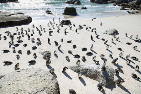 penguins on beach: African penguins in Boulders beach, South Africa