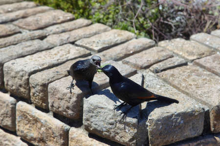 red winged: Pair of red winged starlings fighting for a locust in Cape Point, South Africa