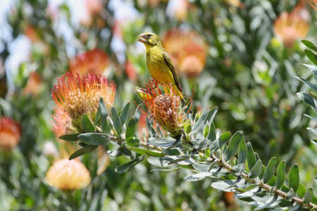 protea flower: Brimstone Canary (Serinus sulphuratus) behind protea flower in Kirstenbosch botanical gardens, South Africa. Stock Photo
