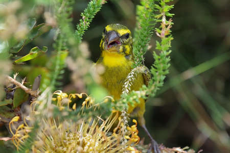 warble: Brimstone Canary (Serinus sulphuratus) behind protea flower in Kirstenbosch botanical gardens, South Africa. Stock Photo