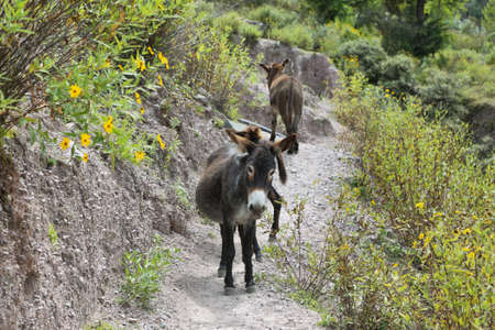 isidro: Donkeys in the middle of the way to San Isidro village, Salta province, Argentina