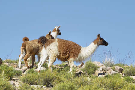puna: Guanacos in the meadows of Salta province, Argentina