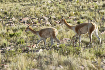 high plateau: Vicunas in the meadows of Salta province, Argentina