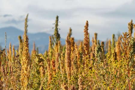 La quinua plantación (Chenopodium quinoa), cerca de Cachi, el norte de Argentina Foto de archivo - 44179860