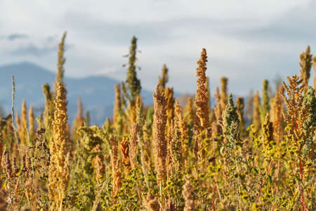 organic plants: Quinoa plantation (Chenopodium quinoa) near Cachi, northern Argentina Stock Photo