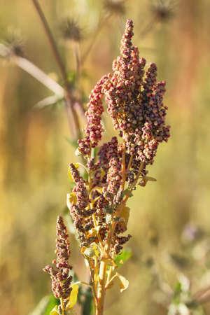 Quinoa-Plantage (Chenopodium quinoa) in der Nähe von Cachi, Nordargentinien Standard-Bild - 44180039
