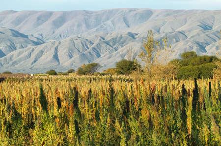 カチ、アルゼンチン北部に近いキノア プランテーション (キノア) 写真素材