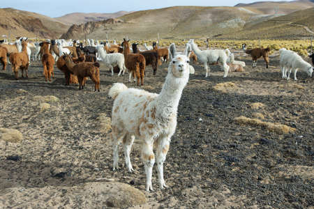 high plateau: Flock of  Llamas in northern Argentina. Llama is a South american camelid, which live in the high alpine areas of the Andes