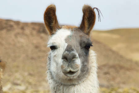 high plateau: Closeup of a Llama in northern Argentina. Llama is a South american camelid, which live in the high alpine areas of the Andes Stock Photo