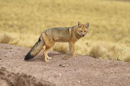 high plateau: Desert Fox in andean high plateau of Antofagasta region, Chile