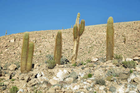 high plateau: Cactus plants in Guatin gorge, Atacama desert, Chile Stock Photo